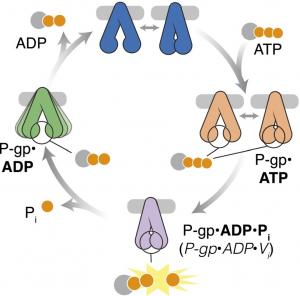 Cryo-EM Analysis of Human P-glycoprotein